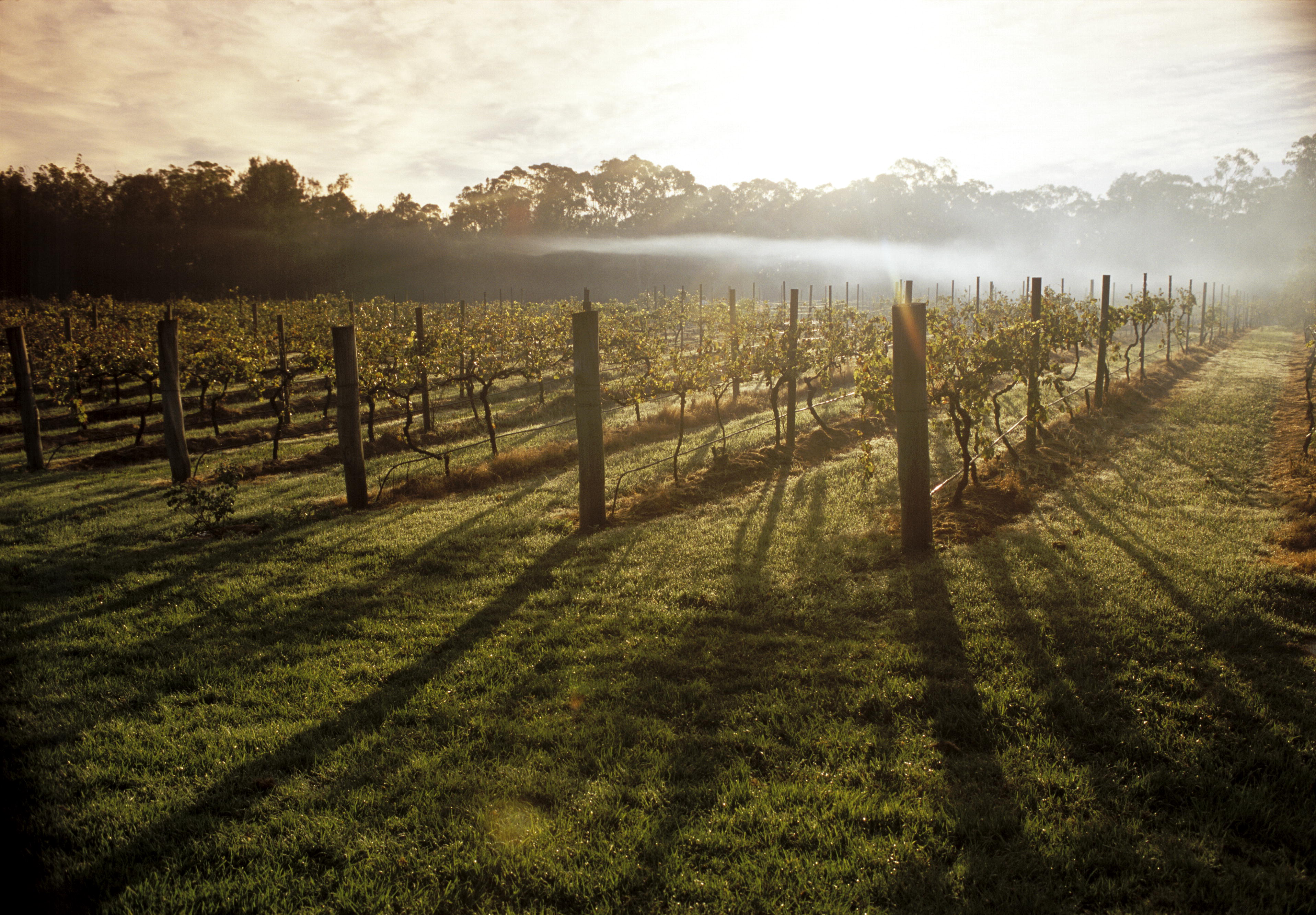 Misty Morning Vineyard - Unknown Location